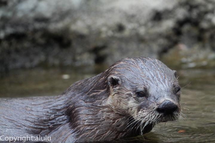盛岡市動物園 カナダカワウソ 画像
