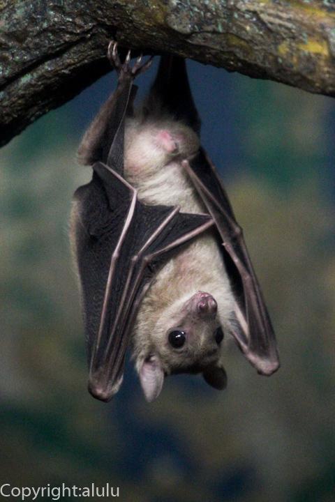 東山動物園 ルーセットオオコウモリ