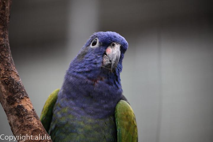 アケボノインコ 動物写真