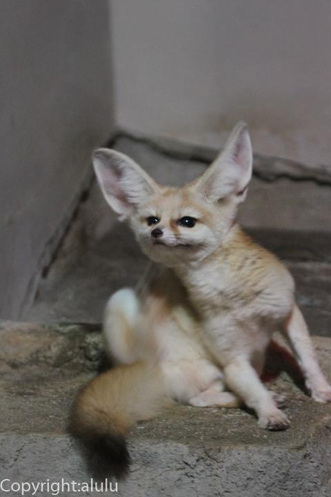 日本平動物園 フェネック 画像