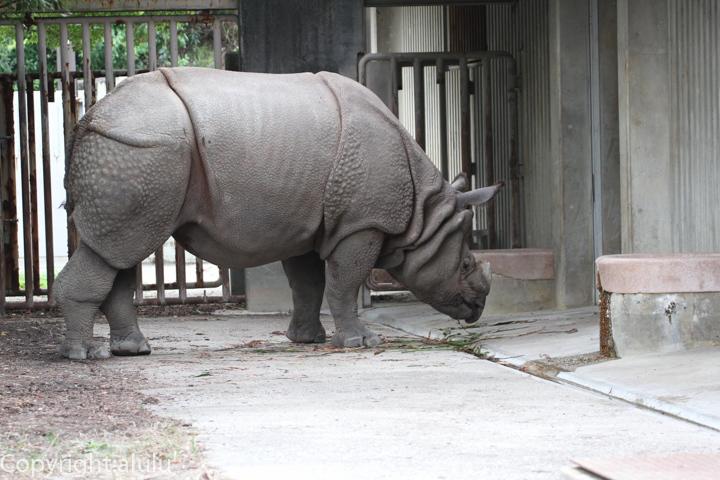 東山動物園 インドサイ 画像