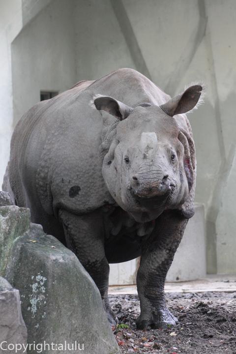 東山動物園 インドサイ
