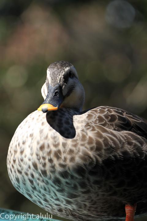 カルガモ 鳥 動物写真
