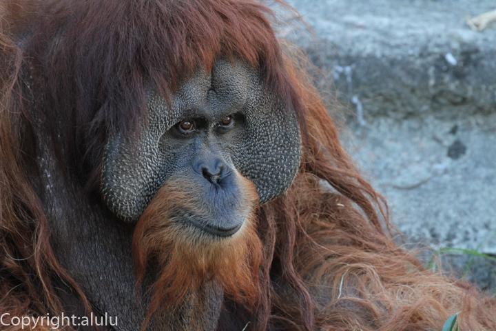 浜松市動物園 スマトラオランウータン 画像