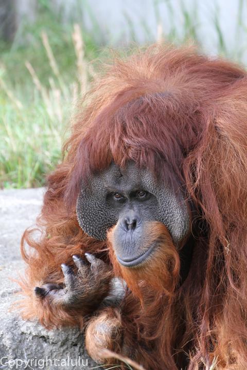 浜松市動物園 スマトラオランウータン