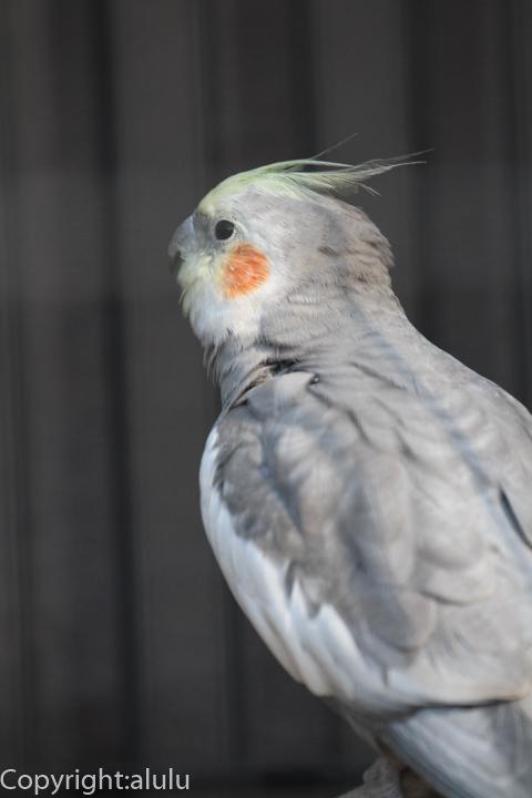 埼玉県こども動物自然公園 おかめいんこ 画像
