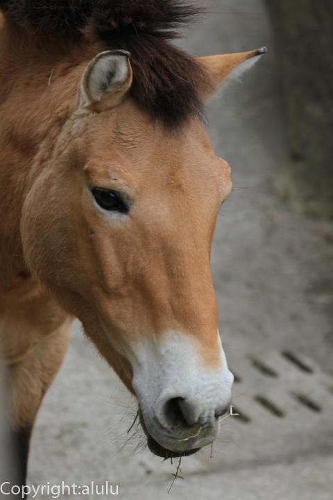 蒙古野馬 画像