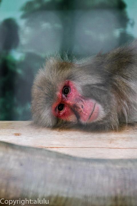 ニホンザル 動物写真