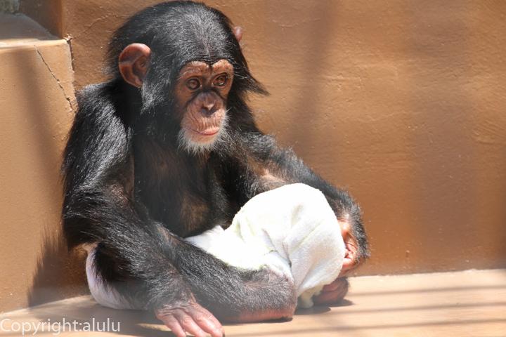 チンパンジー 赤ちゃん
