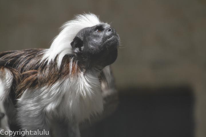 日本平動物園 ワタボウシタマリン
