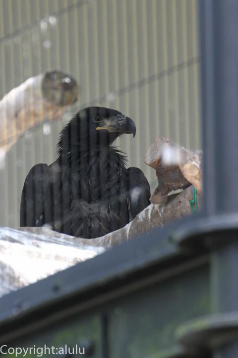 静岡市立日本平動物園 ハクトウワシ 赤ちゃん