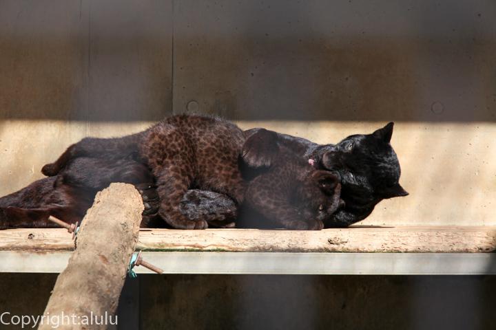 浜松市動物園 クロヒョウ 画像