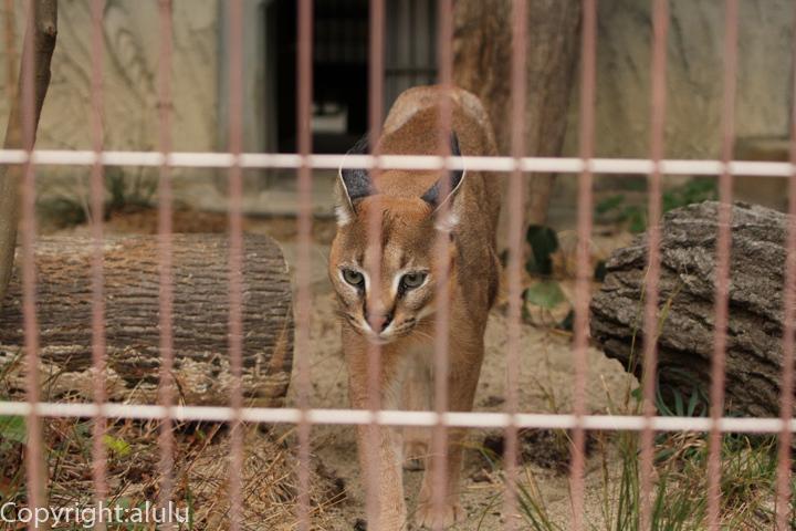 東山動物園 カラカル 画像