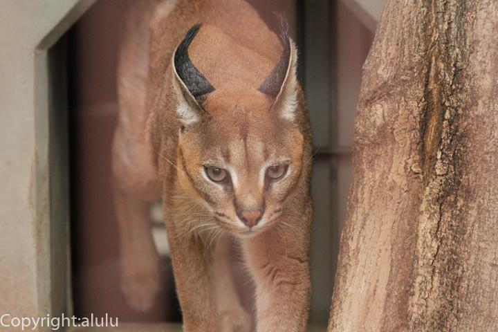 東山動物園 カラカル