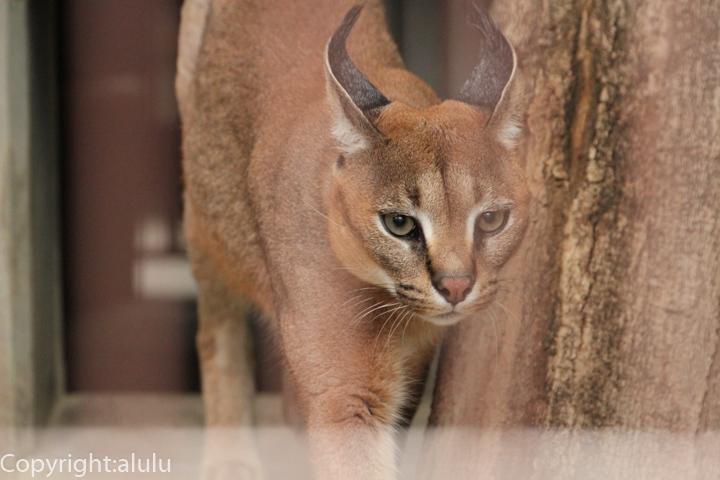 カラカル 動物写真