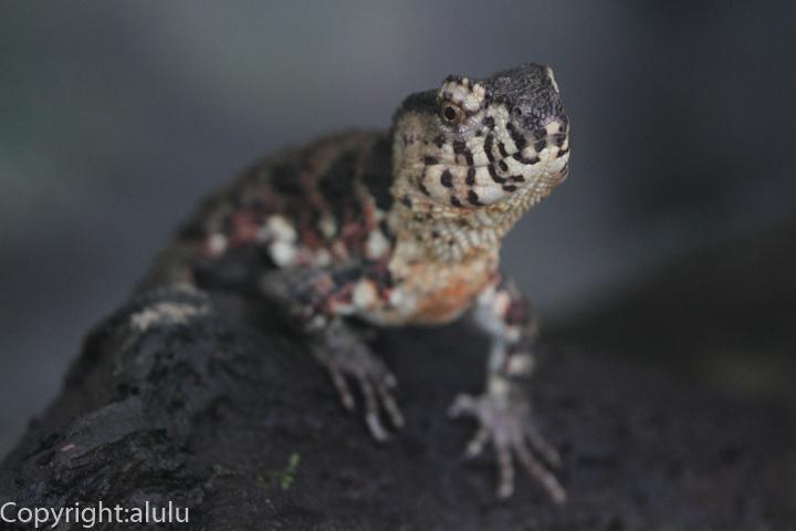 チュウゴクワニトカゲ 動物写真
