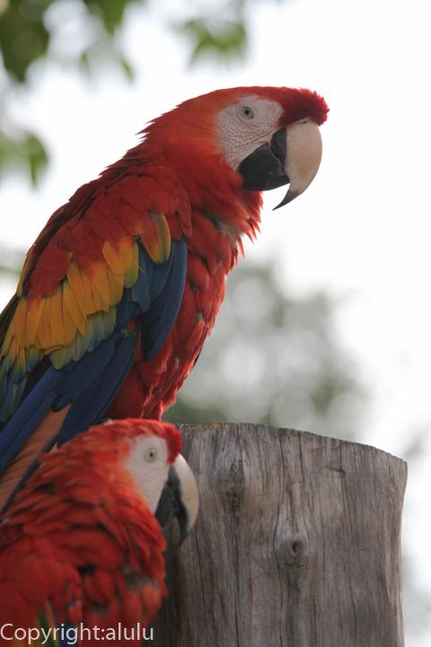 アカコンゴウインコ 動物写真