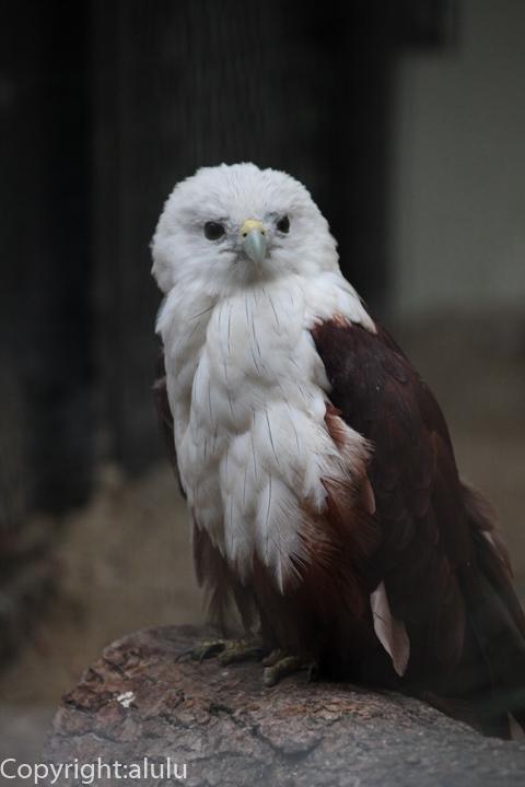 福岡市動物園 シロガシラトビ