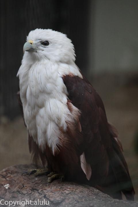シロガシラトビ 鳥