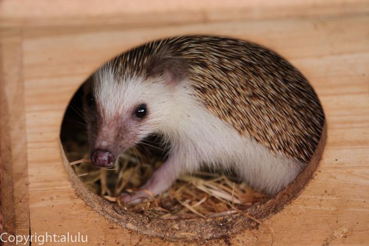 ヨツユビハリネズミ 動物写真