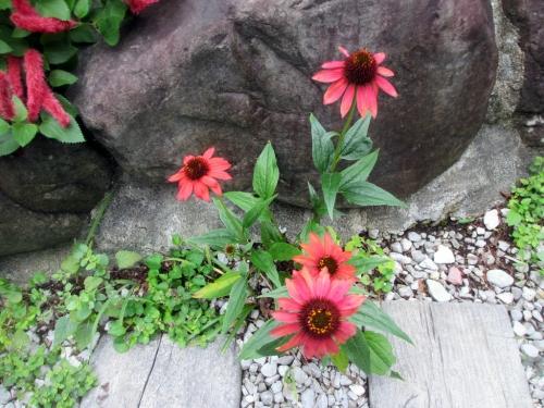 エキナセア、ムラサキバレンギク(紫馬簾菊)