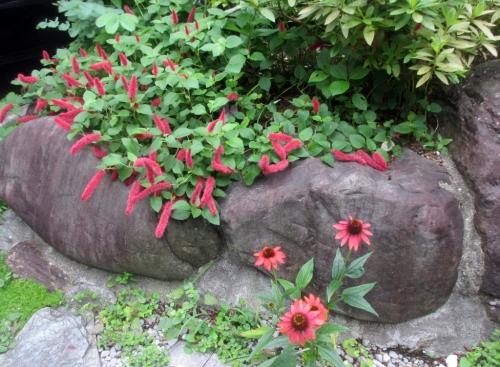 エキナセア、ムラサキバレンギク(紫馬簾菊)キャットテール