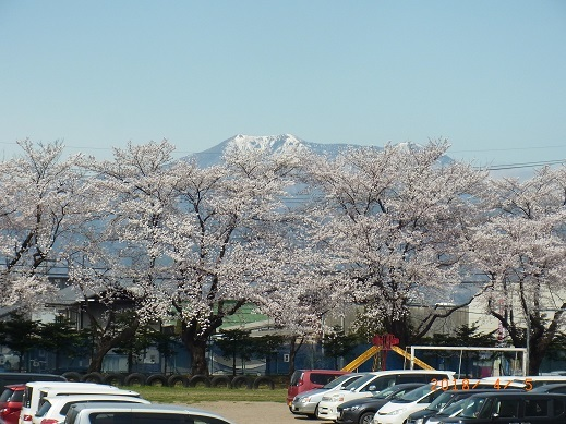 H30年森上小学校入学式当日の桜満開